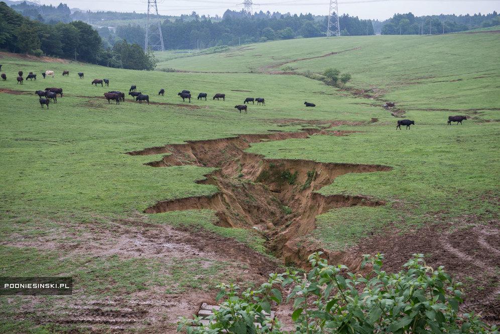 В настоящее время на ферме Масами Йосидзава около 360 единиц крупного рогатого скота. Разлом на земле — последствие землетрясения