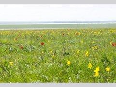 Тюльпановые поля на озере Маныч